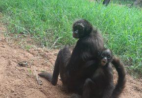 Monos araña PDC_4